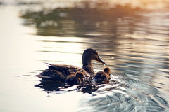 Duck with ducklings float in the lake, lit with the sunset sun. Stock Images