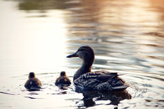 Duck with ducklings float in the pond, lit with the sunset sun. Stock Photos