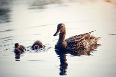 Duck with ducklings float in the river. The duck with ducklings float in the river stock photography