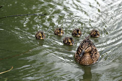 Duck with ducklings. Floating in the city summer pond Royalty Free Stock Photo