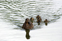 Duck with ducklings. Floating in the city summer pond Royalty Free Stock Images