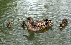 Duck with ducklings. Floating in the city summer pond Stock Image