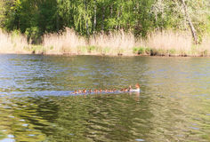 Duck with ducklings floating down the river Stock Photo