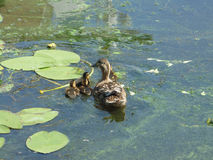 Duck with ducklings. Floating on the lake stock photos