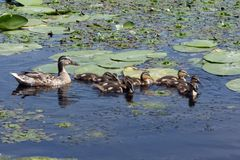 Duck with ducklings are floating in the overgrown pond. Outdoors, outside stock photography