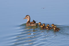 Duck with ducklings. Floating on the water stock photo