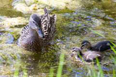 The duck with ducklings floats in a pond in the summer afternoon. The beautiful duck with ducklings floats in a pond in the clear summer afternoon Royalty Free Stock Images