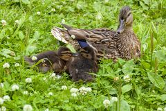Duck with ducklings among a grass. In clear day Stock Images
