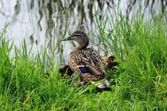 Duck with ducklings in the grass. Duck with her cute ducklings in the grass royalty free stock photo