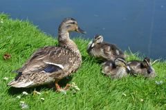 Duck and Ducklings on the Grass Royalty Free Stock Photo