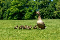Duck with ducklings stock photography