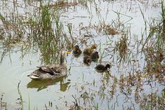 Duck with ducklings in green lake in Furnas Stock Images