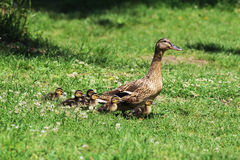 Duck and ducklings. Royalty Free Stock Image