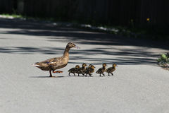 Duck and ducklings. Royalty Free Stock Photography