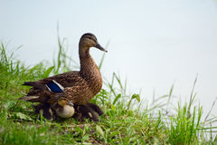 Duck with ducklings. Duck and ducklings hiding under it in the grass on the bank Royalty Free Stock Photos