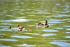 Duck and ducklings Royalty Free Stock Photo