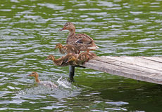 Duck and Ducklings jumping into a lake. Four fluffy young ducklings and their mother are jumping off a dock into a lake Royalty Free Stock Images