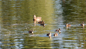 Duck and ducklings. Duck keep their ducks to eat carefully and keep them Royalty Free Stock Images