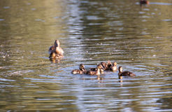 Duck and ducklings. Duck keep their ducks to eat carefully and keep them Stock Image