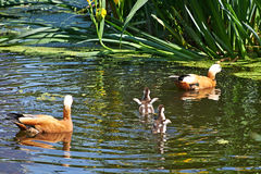 Duck with ducklings Royalty Free Stock Photography