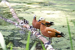 Duck with ducklings Stock Photos