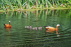 Duck with ducklings Stock Images