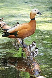 Duck with ducklings Royalty Free Stock Photos