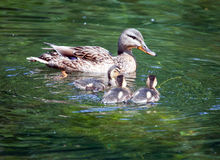 Duck with ducklings in  lake Stock Photos