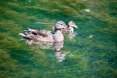 Duck with ducklings in  lake Stock Images