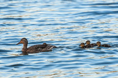 Duck ducklings lake Stock Photography