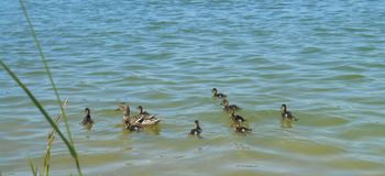 Duck and ducklings on a lake. Duck and ducklings swim in a water lake spring time royalty free stock photo