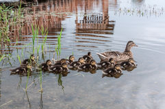 Duck ducklings lake Royalty Free Stock Photography