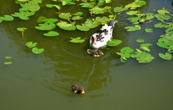 Duck and Ducklings in a Lake. Duck and two ducklings swimming in a lake with water lilies royalty free stock photography