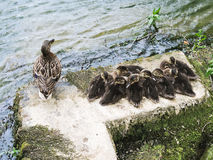 Duck with ducklings on lake. Wild duck with ducklings on lakeside stock image