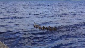 Duck with ducklings in lake stock footage