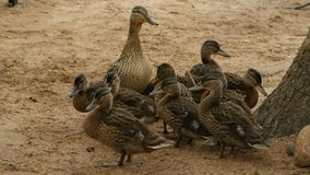 Large duck family. Duck with ducklings, large duck family, curiosity and caution stock video footage