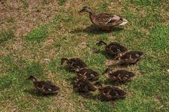 Duck with ducklings on the lawn in front of Gravensteen Castle in Ghent. In addition to intense cultural life, the city is full of Gothic buildings and Flemish stock photo