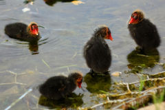 Duck and ducklings. Little ducklings in a pond Royalty Free Stock Photos