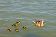 Duck and ducklings Stock Images