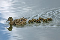 Duck with ducklings. Mallard, or Wild duck (Anas platyrhynchos Stock Image