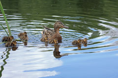 Duck with ducklings. Mallard, or Wild duck (Anas platyrhynchos Stock Photos