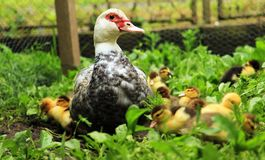 Duck with ducklings. Duck mom with her ducklings stock image