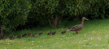 Duck and ducklings. Mother duck with 11 ducklings Stock Photos