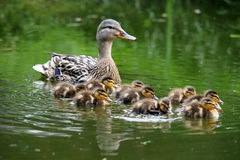 Duck and ducklings. Mother duck with her ducklings stock photo