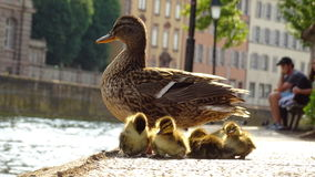 Duck and ducklings Royalty Free Stock Photography