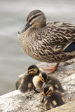 Duck with ducklings. A mother duck protecting her young Royalty Free Stock Photo