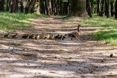 Duck with ducklings move to the pond. Close up royalty free stock photo