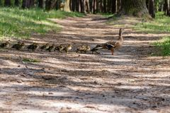 Duck with ducklings move to the pond. Close up stock photo