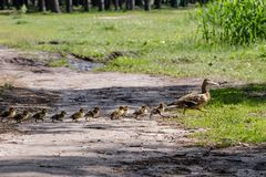 Duck with ducklings move to the pond. Close up royalty free stock image