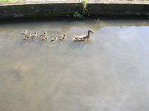 Duck and ducklings. Near Leeds Castle, Kent, UK Royalty Free Stock Photo